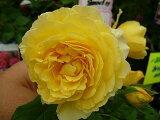 【バラ苗】 フランスアンフォ (大輪 デルバール ) (Del) 国産苗 大苗 6号ポット 四季咲き 黄色 強香 バラ 苗 薔薇