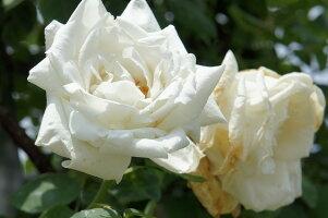 白いバラ クライミング・ローズ フラウカールドルシュキー