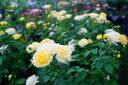 ゴールデン ボーダー 四季咲き