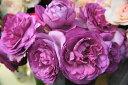 【バラ苗】 イブピアッチェ 国産苗 大苗 6号ポット 四季咲き ピンク 強香 バラ 苗 薔薇 np