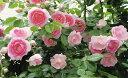【バラ苗】 ジャスミーナ 大苗つるバラ 【京成バラ】 初心者に超おすすめ ピンク バラ 苗 薔薇