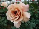 【バラ苗】 ジュリア (HT) 国産苗 1年生 新苗 四季咲き 茶色 バラ 苗 薔薇