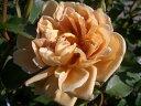 【バラ苗】 カフェ 大苗 木立バラ 四季咲き 茶色 バラ 苗 薔薇 バラ苗木 np