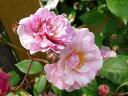 バラ苗コーネリア(オールドローズ)【国産苗】1年生新苗四季咲きピンク強香強健バラ苗薔薇
