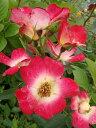 【バラ苗】 コクテール (カクテル) 大苗 つるバラ 四季咲き 赤色 バラ 苗 つるばら 薔薇 np