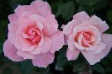 【バラ苗】 クイーンエリザベス (HT) 国産苗 大苗 6号ポット 四季咲き ピンク 強健 バラ 苗 薔薇
