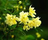 【バラ苗】 黄 モッコウバラ 八重 (オールドローズ) 黄色 バラ 5号ポット苗 薔薇