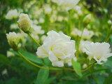 玫瑰植物 - 无刺的常绿玫瑰 - 白色班克西亚玫瑰(8倍)(旧)[图书] [销售]比12月交付不迟[【バラ苗】 白 モッコウバラ 八重 オールドローズ トゲのない常緑バラ 白色 強健 バラ 苗 薔薇【バラ苗】 白 モッコウバラ