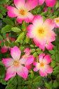 【バラ苗】 ピンクコクテール 大苗 つるバラ トゲが少ない 四季咲き ピンク バラ 苗 つるばら np