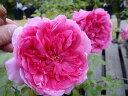 【バラ苗】 パレード 大苗 つるバラ 四季咲き ピンク 強健 バラ 苗 つるばら 薔薇 np 【予約販売・2017年12月中旬から翌年1月中旬頃に順次発送予定】