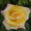 【バラ苗】 ピース 国産苗 大苗 6号ポット 四季咲き 複色 バラ 苗 薔薇 np