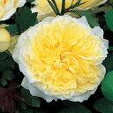 【バラ苗】 ザ ピルグリム (ER) (中輪 イングリッシュローズ )輸入苗 6号ポット 大苗 黄色 強香 強健 バラ 苗 薔薇 バラ苗 イングリッシュローズ