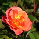 プリンセス 四季咲き オレンジ