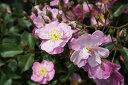 ラベンダー ドリーム おすすめ 四季咲き