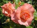 【バラ苗】 リバプールエコー 大苗つるバラ トゲが少ない 四季咲き サーモンピンク 強健 バラ 苗 つるばら 薔薇 np