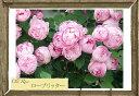 【バラ苗】 ローブリッター (オールドローズ) 国産苗 1年生 新苗 ピンク バラ 苗 薔薇