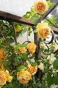 【バラ苗】 ロイヤルサンセット 大苗 つるバラ 四季咲き オレンジ色 強香 バラ 苗 つるばら 薔薇 np