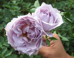 【バラ苗】 ルシファー 大苗 木立バラ 【河本バラ園】 四季咲き 青紫色 強香 バラ 苗 薔薇 バラ苗木