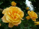 【バラ苗】 サハラ'98 大苗 6号ポット つるバラ 【京成バラ】 四季咲き 黄色 初心者に超おすすめ バラ 苗 つるばら 薔薇 つる性