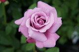 【バラ苗】 シャルルドゴール (HT) 国産苗 大苗6号ポット 四季咲き 青紫色 強香 バラ 苗 薔薇