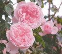 シンデレラ 四季咲き