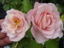 【バラ苗】 スブニールドゥルイアマード大苗 デルバール Del 四季咲き ピンク 強香 強健 薔薇 バラ苗木