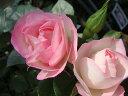 【バラ苗】 つるストロベリーアイス 大苗 つるバラ 四季咲き ピンク 強健 バラ 苗 つるばら 薔薇 np