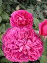 【バラ苗】 ウィリアムシェイクスピア2000 大苗 イングリッシュローズ ER 輸入苗 四季咲き 赤