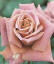 【バラ苗】 禅(ぜん) 【禅ローズ】国産苗 大苗 6号ポット 茶色 バラ 苗 四季咲き 木立ち 中輪 (FL) 薔薇