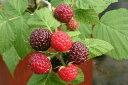 ブラックラズベリー ブラックキャップ ポット苗 果樹苗木 果樹苗 キイチゴ 苗