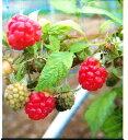 二季なり性 ラズベリーサンタナポット苗 果樹苗木 果樹苗 キイチゴ 苗