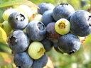 ブルーベリー 苗木 ブライトブルー ラビットアイ系2年生苗 ブルーベリー苗 blueberry