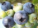 ブルーベリー 苗木 ブルーレイ ノーザンハイブッシュ系2年生苗 ブルーベリー苗 blueberry