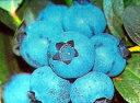ブルーベリー 苗木 ブラデン サザンハイブッシュ系2年生苗 ブルーベリー苗 blueberry