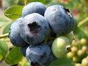 ブルーベリー 苗木 チャンドラー ノーザンハイブッシュ系3年生大苗 ブルーベリー苗 blueberry