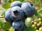ブルーベリー 苗 ダロウ ノーザンハイブッシュ系3年生大苗 ブルーベリー苗 【挿し木】 blueberry