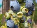 ブルーベリー 苗木 フェスティバル ラビットアイ系2年生苗 ブルーベリー苗 blueberry