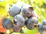 ブルーベリー 苗 レイトブルー ノーザンハイブッシュ系2年生苗 ブルーベリー苗 blueberry