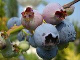 """介绍蓝莓品种蓝莓RABITTOAI """" HOMUBERU """"两年苗[ブルーベリー 苗 ホームベル ラビットアイ系2年生苗 ブルーベリー苗 blueberry]"""