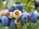 ブルーベリー 苗木 サンシャインブルー サザンハイブッシュ系2年生苗 ブルーベリー苗 blueberry