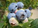 ブルーベリー 苗木 シャープブルー サザンハイブッシュ系2年生苗 ブルーベリー苗 blueberry