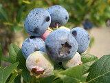 適応性に優れ育てやすい品種★ブルーベリー 苗 シャープブルー サザンハイブッシュ系2年生苗 ブルーベリー苗 blueberry