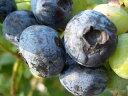 ブルーベリー 苗木 チャンドラー ノーザンハイブッシュ系2年生苗 ブルーベリー苗 blueberry