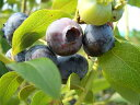 ブルーベリー 苗木 ウッタード ラビットアイ系3年生大苗 ブルーベリー苗 【挿し木】 blueberry