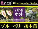 �֥롼�٥ ���� �ѥȥꥪ�å� �Ρ�����ϥ��֥å���ϡ��ܤ����� �֥롼�٥�ġڥ֥롼����ѥ륹�� blueberry