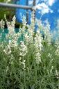 ハーブ 白花 トルーラベンダー (ブルーマウンテンホワイト) 【3号ポット苗】宿根草 苗 多年草 耐寒性