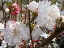 ハナモモ 源平桃(ゲンペイモモ)2年生 接ぎ木 苗 庭木 落葉樹 シンボルツリー 【観賞花木】