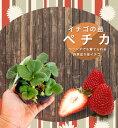 いちご 苗 【四季成り性】ペチカ 3号ポット苗 【小梱包】イチゴ 苺