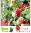 ■店長イチオシ■いちご 苗 栽培スタートセット とよのか ( 豊の香 )2株と培養土、プランターのセットイチゴ 用土 プランター 初心者おすすめ