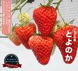 いちご 苗 とよのか ( 豊の香 ) 3号ポット苗 【小梱包】イチゴ 苺